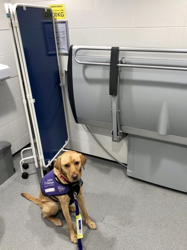 A fox red assistance dog is sitting in front of a collapsible privacy screen and an adult-sized changing table.
