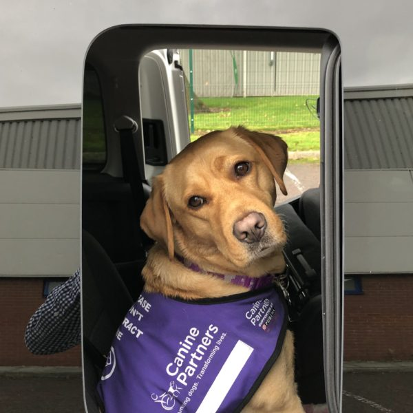Fox red assistance dog sitting inside a Volkswagen Caddy Maxi and looking out of the rear passenger window.